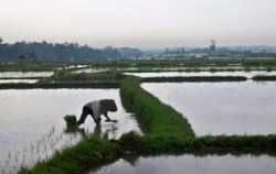Rice Field View,Bali Cycling,Village Cycling With Rafting