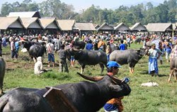 Toraja Buffalo Traditional Mar image, BUGIS ADVENTURE ( LAKE TEMPE EXPLORATION ) + TORAJA CULTURE AND NATURE TOUR 5 Days / 4 Nights, Toraja Adventure