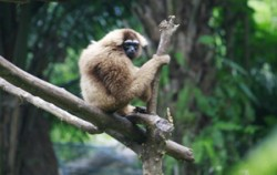 Gibbon Island,Bali Zoo Park,Bali Zoo Park