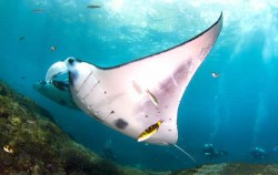 Manta Fish,Nusa Penida Packages,Nusa Penida Diving