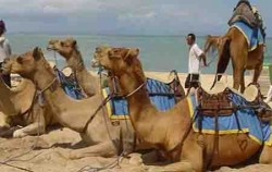 Bali Camel Safari Ride