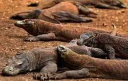 Habitat Komodo Dragon,Komodo Adventure,Komodo tour 4D3N Packages