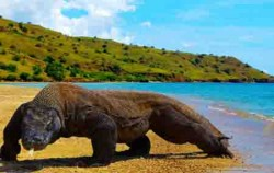 Komodo Species image, Sailing Komodo Adventure 3D2N Tours , Komodo Adventure