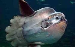 Nautilus Diving Bali, Bali Diving, Sunfish