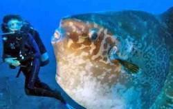 oceanic sunfish,Bali Diving,Nautilus Diving Bali