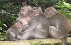 Alas Kedaton Monkeys,Bali Sightseeing,Sangeh, Mengwi and Tanah Lot Tour