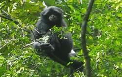 Black Gibbon,Sumatra Adventure,Leuser National Park Trekking 3 days 2 Nights