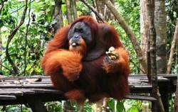 Bukit Lawang Orangutan image, Explore Tangkahan Tour A 7 Days 6 Nights, Sumatra Adventure