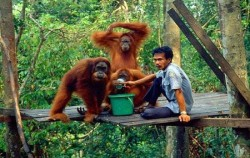 Exotic Bukit Lawang and Lake Toba Tour 6D 5N, Sumatra Adventure, Orangutan Feeding Time