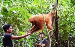 Orangutan Bukit Lawang,Sumatra Adventure,North Sumatra Special Tour 14 Days 13 Nights