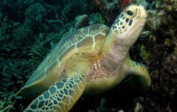 Bali Diving By Ena, Green Turtle