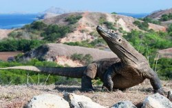 Komodo Dragon image, Komodo - Gili Laba Tour 4 Days 3 Nights, Komodo Adventure