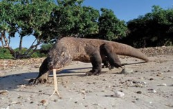 Komodo Dragon,Flores Adventure,Flores Adventure and 3 Colours Lake 6D5N Tours