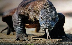 Komodo Dragon image, Komodo tour 5D4N Packages, Komodo Adventure
