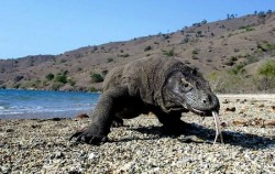 Komodo Dragon image, One Day Trip to Komodo Island, Komodo Adventure