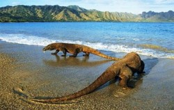 Komodo Dragon,Komodo Adventure,One Day Trip to Komodo Island