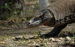 Komodo,Komodo Adventure,Flores and Komodo Adventure Tour 8D/7N