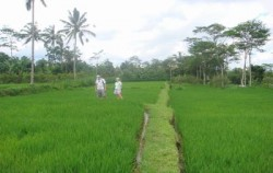 Rice Field,Bali Cycling,Bali Breeze Cycling Tour