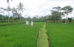 Bali Breeze Cycling Tour, Bali Cycling, Rice Field