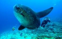 Water Sports in Lembongan, Lembongan Activities, Mola-Mola Diving