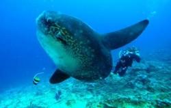 Mola-Mola Nusa Penida,Bali Diving,Diving Activities by BMR