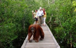Camp Leakey,Borneo Island Tour,Orangutan Tour 4 Days 3 Nights