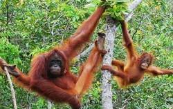 Orangutan,Sumatra Adventure,Orangutan Batak Country Tour 5 Days 4 Nights