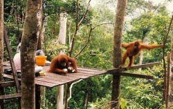 Explore Tangkahan Tour B 7 Days 6 Nights, Sumatra Adventure, Orangutan Feeding Time
