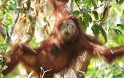 Mahakam and Orangutan Tour 4 Days, Borneo Island Tour, Orangutan