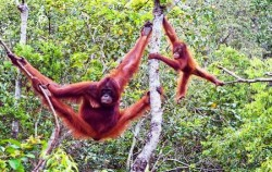 Orangutan and Dayak Tour 6 Days 5 Nights, Borneo Island Tour, Orangutan Exploration