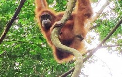 Bukit Lawang Orangutan Tour 2 Days 1 Night, Sumatra Adventure, Orangutan