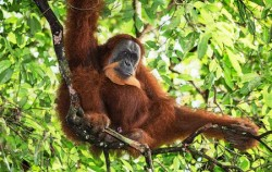 Bukit Lawang Trekking and Rafting 5 Days 4 Nights, Orangutan Leuser Park