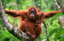 Orangutan Leuser Park,Sumatra Adventure,Grand Tour Experience 19 Days