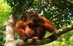 Orangutan Tanjung Puting image, Borneo Overland Trip I 8 Days 7 Nights, Borneo Island Tour