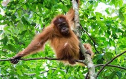 Leuser National Park Trekking 3 days 2 Nights, Sumatra Adventure, Orangutan