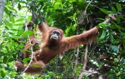 Sumatran Orangutan,Sumatra Adventure,Leuser National Park Trekking 4 Days 3 Nights