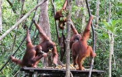 Tanjung Puting National Park,Borneo Island Tour,Orangutan and Dayak Explore 5 Days 4 Nights