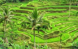 Tegalalang Rice Terrace,Bali Tour Packages,One Day Tour with Barong Dance