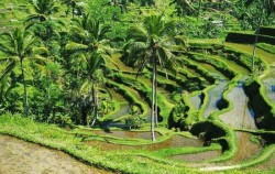 One Day Tour with Spa Treatment, Bali Tour Packages, Tegalalang Rice Terrace