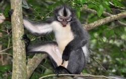 Thomas Leaf Monkey,Sumatra Adventure,Leuser National Park Trekking 4 Days 3 Nights