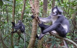 Thomas Leaf Monkey,Sumatra Adventure,Bukit Lawang Trekking and Rafting 5 Days 4 Nights